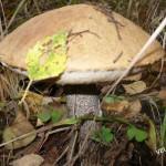 растет грибочек