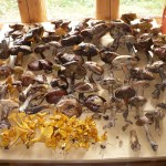 грибы сушатся